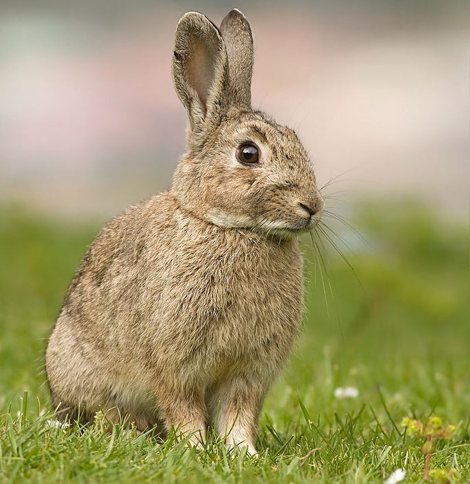 The type of rabbit on the island is mainly the very fluffy European rabbit (Ana-usagi in Japanese). Source: wikipedia