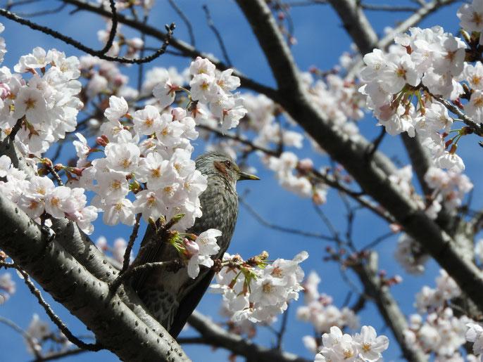 桜とヒヨドリ 散策路 180323撮影