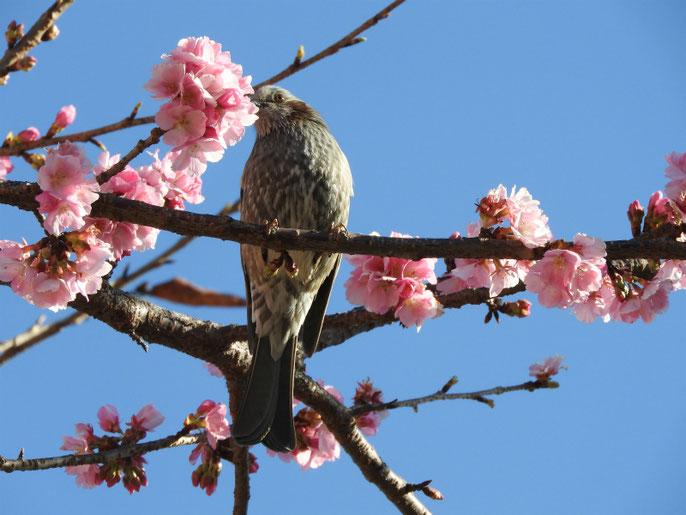 寒桜とヒヨドリ(鵯) 散策路 180302撮影