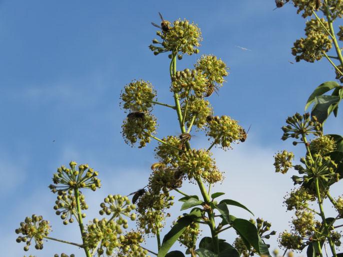 Efeu als Pollen- und Nektarquelle