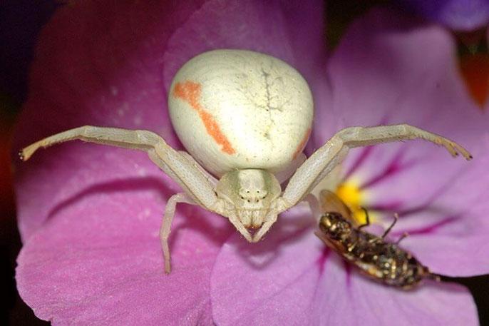 Veränderliche Krabbenspinne (Misumena vatia) - Webspinne (Aranaea)