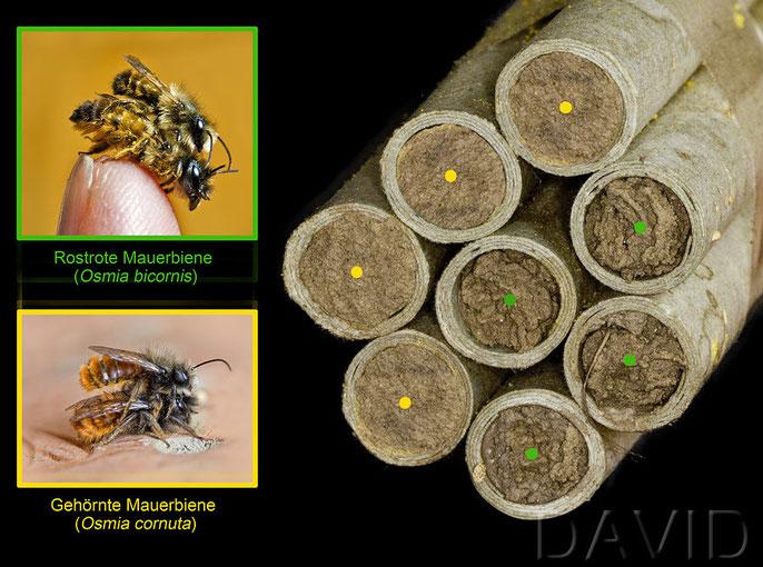 Nestverschluss Nestverschluß Gehörnte Mauerbiene Osmia cornuta Rostrote Mauerbiene Osmia bicornis Unterschiede