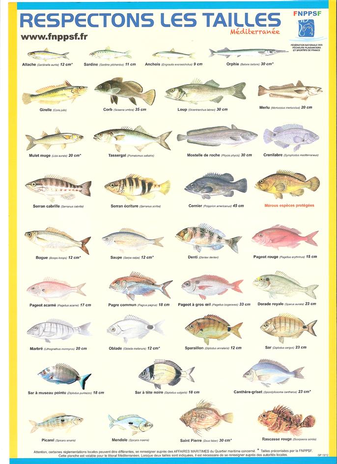 Pour une pêche durable respectons les tailles minimales de pêche. La SMPP 66470 partenaire de la FNPPSF.