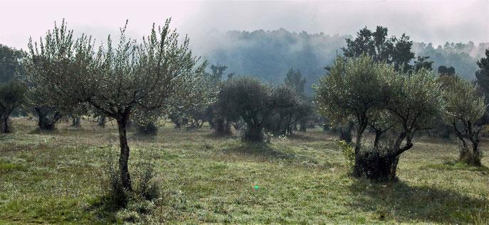 """oliviers à Sillans. """"En tant que plante, l'olivier produit ses propres toxines, ses goûts, ses odeurs, ses phéromones, auxquels des bactéries, des champignons et des invertébrés se sont adaptés""""(photo s&m archives)"""