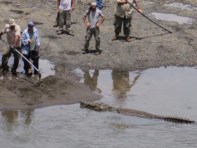Die Männer schafften es nicht, das Krokodil zu fangen!