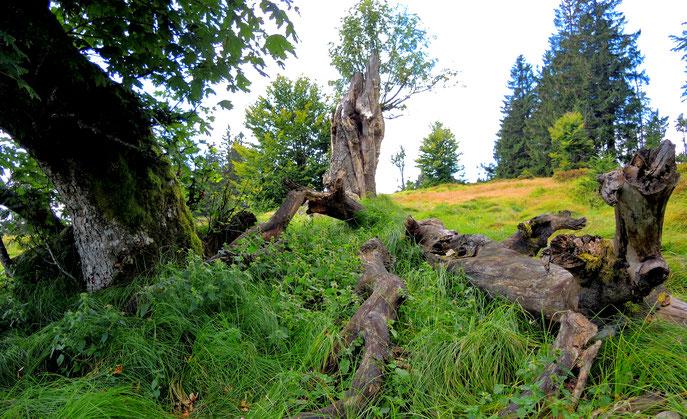 Jährlingsschachten im Nationalpark Bayerischer Wald