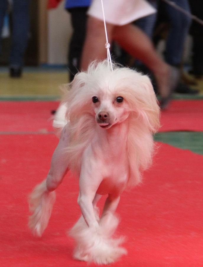 голая сука китайской хохлатой собаки