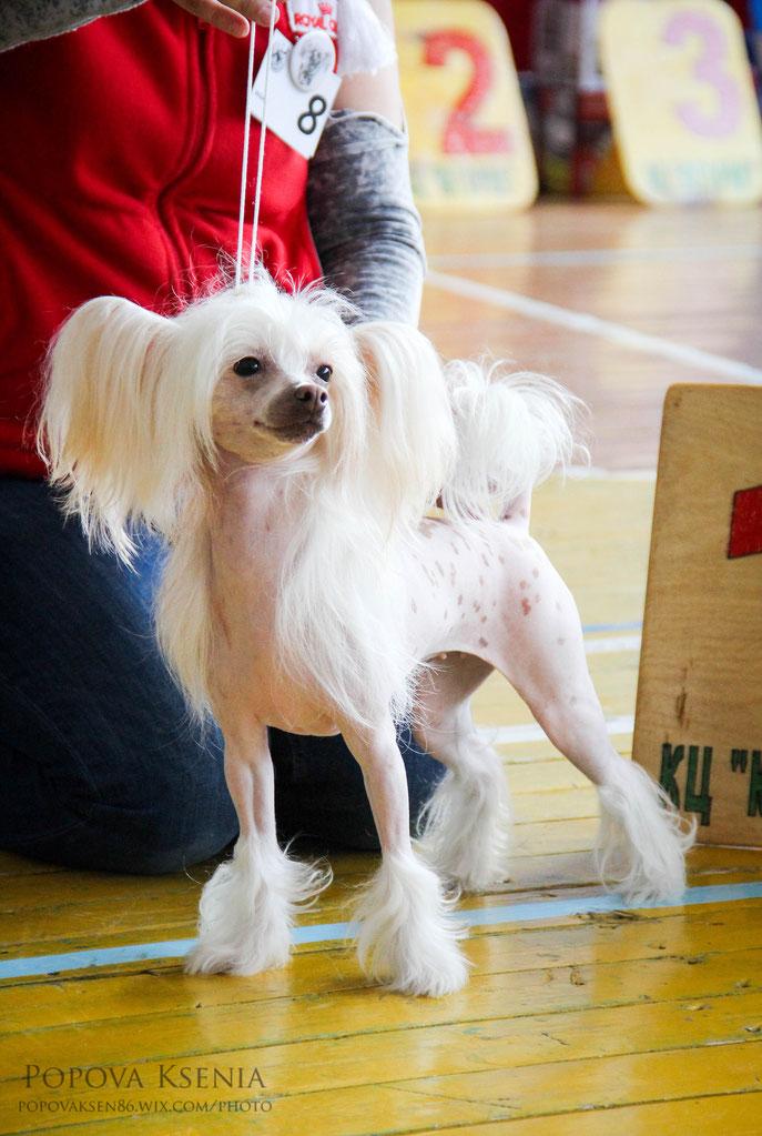 сука китайской хохлатой собаки из дома таши