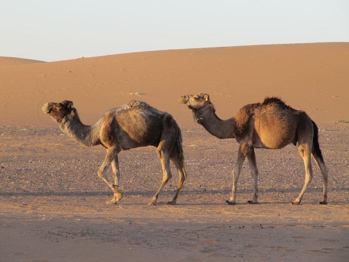 Des animaux incontournables du désert