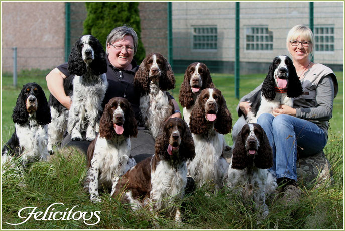 English Springer Spaniel Felicitous