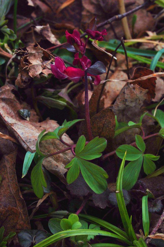 Corydalis cava ( Hohlknolliger Lerchensporn) Aufgenommen in Gams am 28. 2. 16 Bild Marcel Ambühl