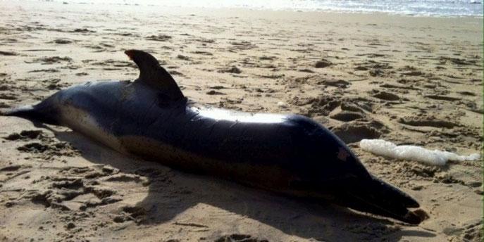 Un des 21 mammifères échoués ce week-end en Pays de Born.  Cliquez ici.