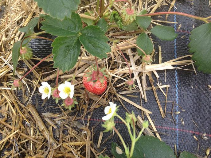 Die Erdbeer Saison 2014 ist eröffnet