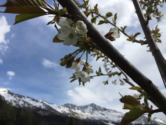 Kirschenbaum blüht am 10.5.15