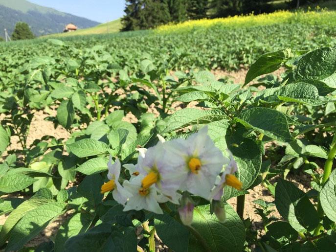 Kartoffeln blühen  5.7.15