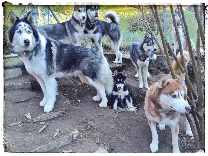 Siberian Huskies vom TEAM SPARKLES (Yuma und Aniak)