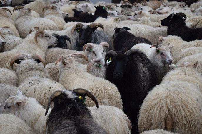 Sheep round-up, Landmannalaugar
