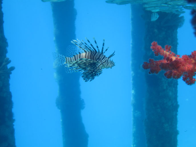 Lionfish, Red Sea, Jordan