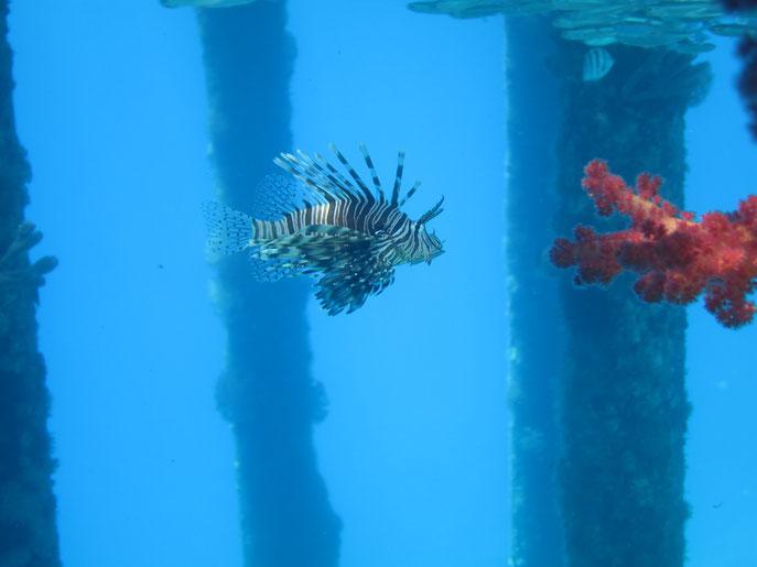 Lionfish, Red Sea, Jordan