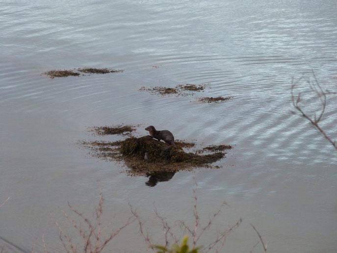otter, Isle of Islay, Scotland