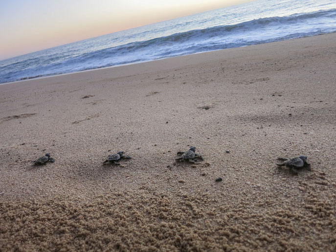 baby turtles, Tortugueros Las Playitas in Todos Santos, Baja California, Mexico