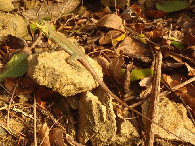 Lizard, Castara, Tobago