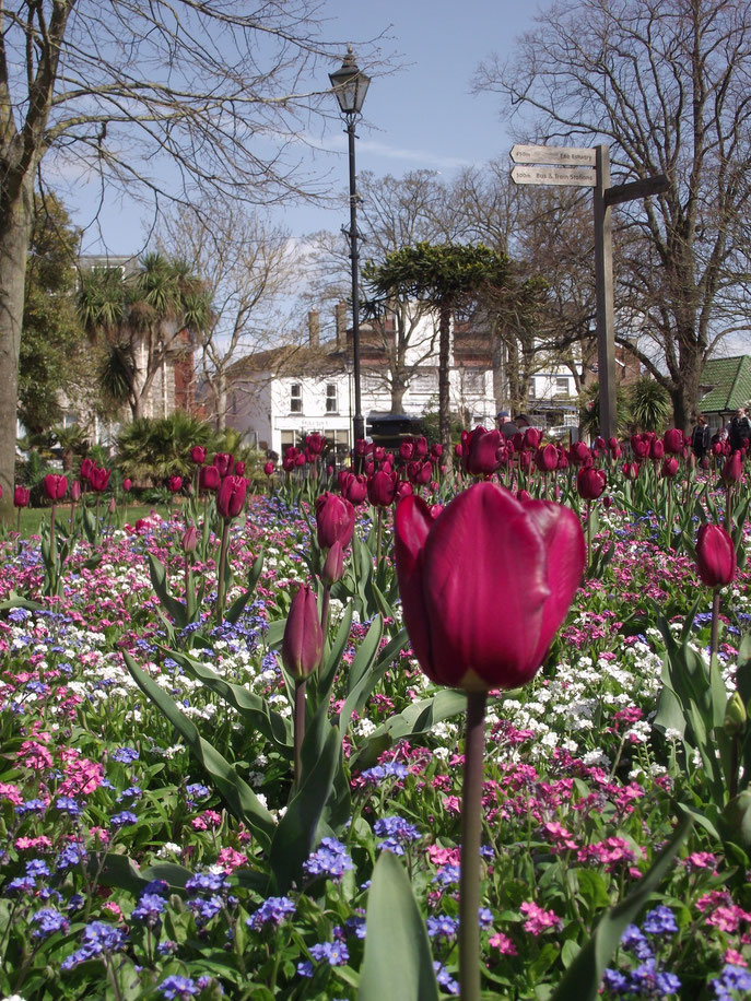 tulips, Exmouth, Exeter, Devon, England.