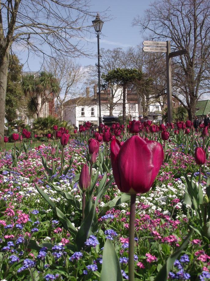 tulips, Exmouth, Exeter, Devon, England.
