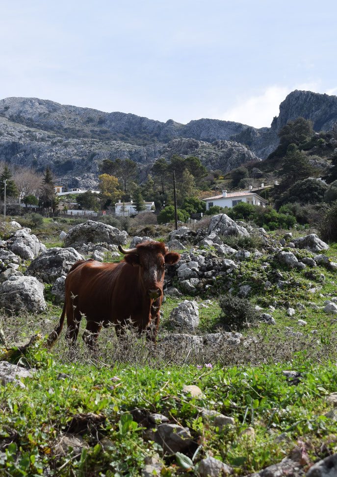cow, Roman road from Benaocaz to Ubrique