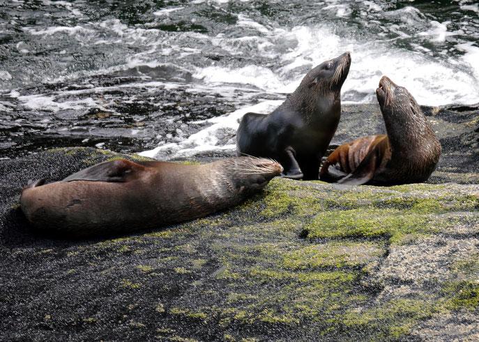 New Zealand Fur Seals, Milford Sound -kekeno