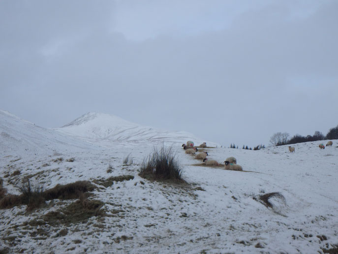 Sheep in snow, West Highland Way, Scotland