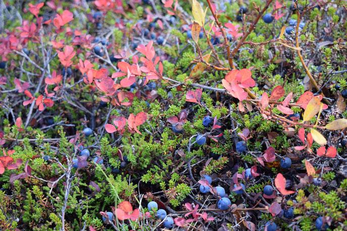 Wild blueberries, Thorsmork Þórsmörk September