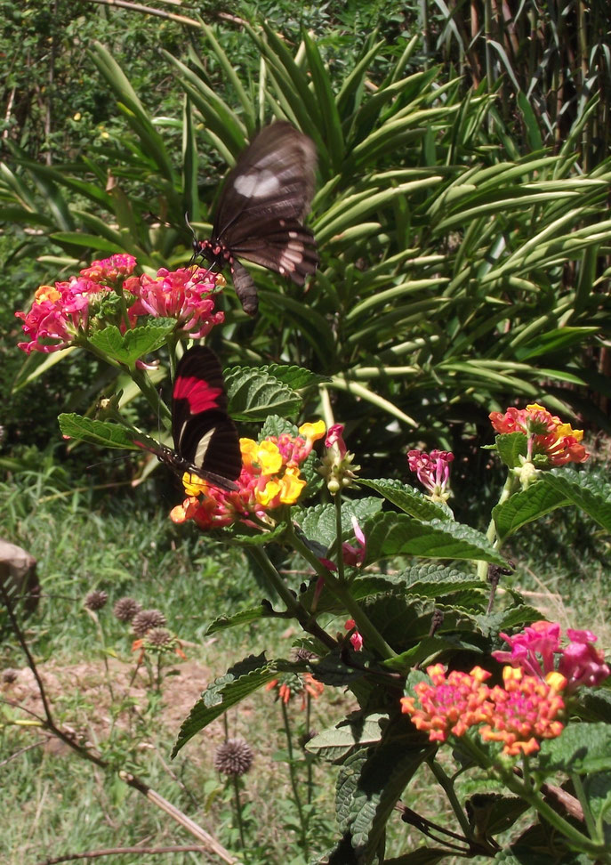 Butterflies, El Jardin campsite and accomodation, Samaipata, Bolivia