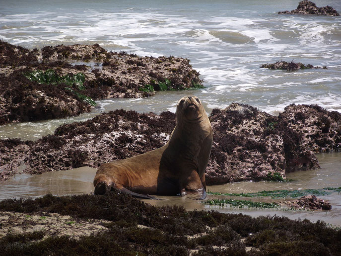 Sealion, Cabo Blanco, the Northern coast, Peru.
