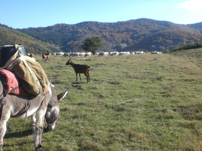 Ane en balade, Chèvres, brebis...