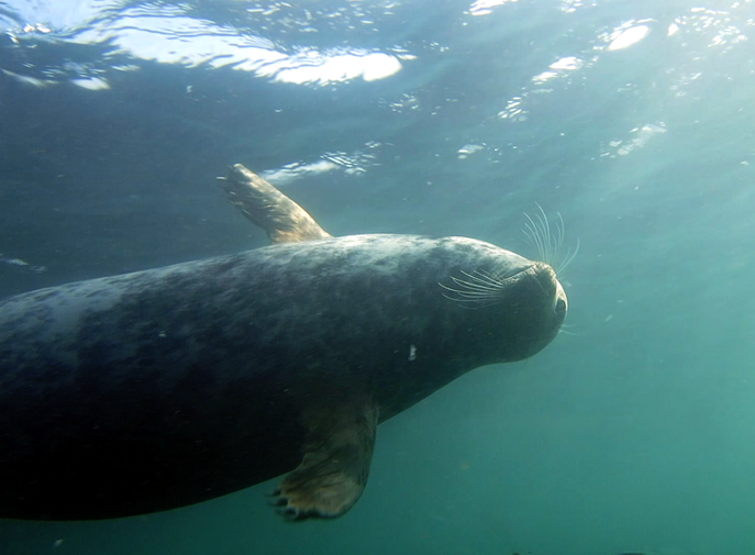 Grey Seal, Farne Islands, UK