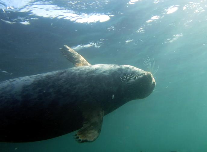 Grey Seal, Farne Islands, UK