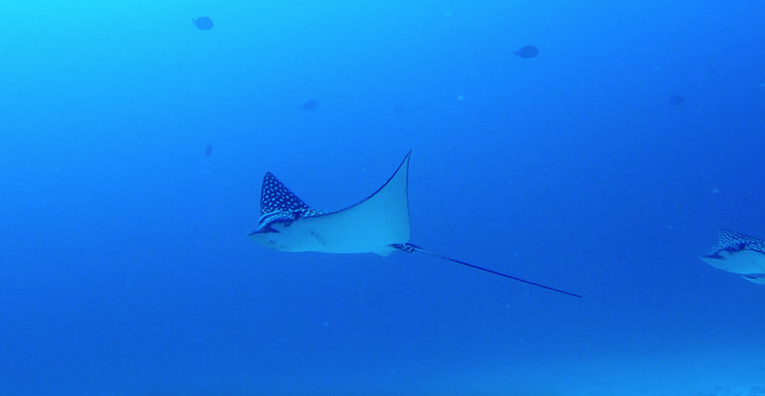 Spotted Eagle Ray, Isla Mujeres, Mexico