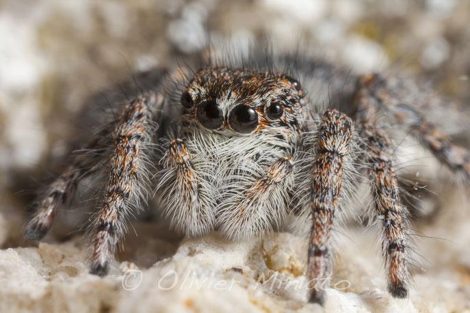 Philaeus chrysops. Salticidae© Olivier Miniato
