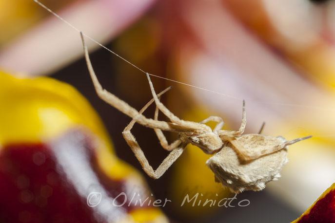 Uloborus walckenaerius. Uloboridae © Olivier Miniato