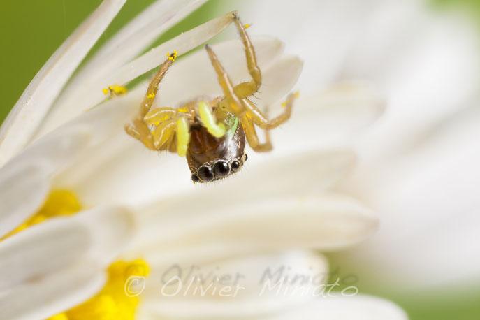 heliophanus tribulosus. Salticidae© Olivier Miniato
