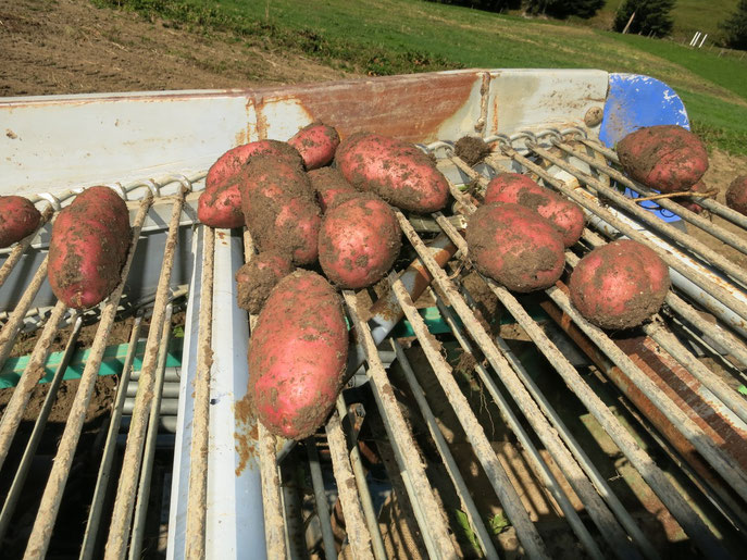 Wir können auf eine super Kartoffelernte zurück blicken