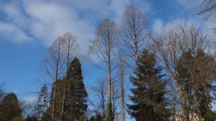 Gehölzpartie im April 2021 vorwiegend aus Urwelt-Mammutbäumen, Berg-Mammutbäumen, Fichten, Kiefern und Tanne