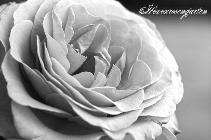 Rosenblog Hexenrosengarten  Rosiger Adventskalender Rose Blue Girl Eldelrose schwarz-weiß