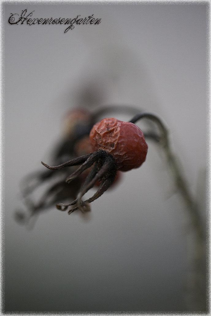 Hexenrosengarten Rosenblog Novemberblues Morbide Rosen Romantischer Rosengarten  Rugosa Hagebutten Schneekoppe Baum