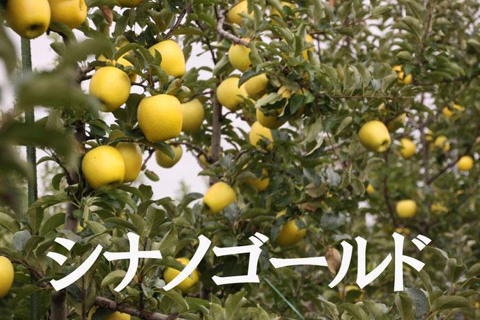 シナノゴールド 黄色いリンゴ