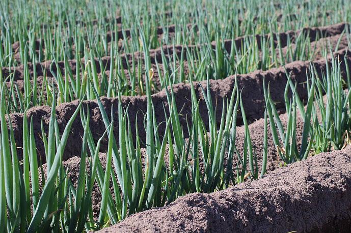 彦名干拓地の白ネギ畑の写真