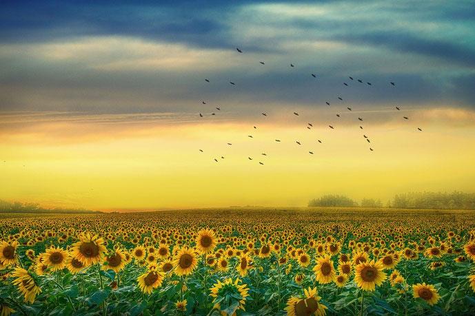 Lieber glücklich mit Sonnenblumen (Foto: pixabay.com @enriquelopezgarre)
