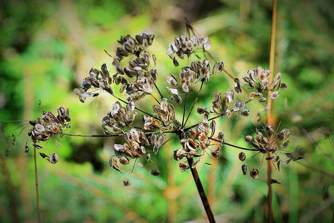 Karottensamen zur Lösung emtionaler Blockaden, Aroamtherapie #Blockaden #Aromatherapie #Karottensamen