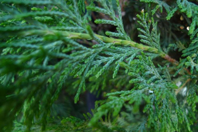Zypresse - mit ätherischen Ölen innere Blockaden lösen, Gastbeitrag Ruby Nagel #Aromatherapie #Blockaden #zypresse